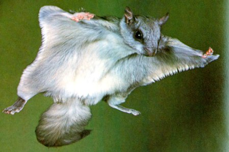 132_p_p186_northern_flying_squirrel_p