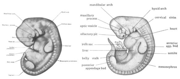 darwin u2019s embryo drawings flawed