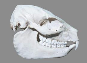 Hyraxskull