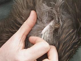 kiwi wing