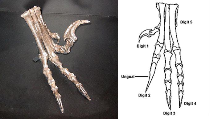 Deinonychus feet