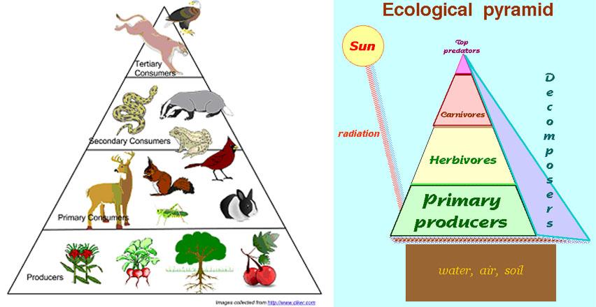 Energy Pyramid Percentages energy pyramid