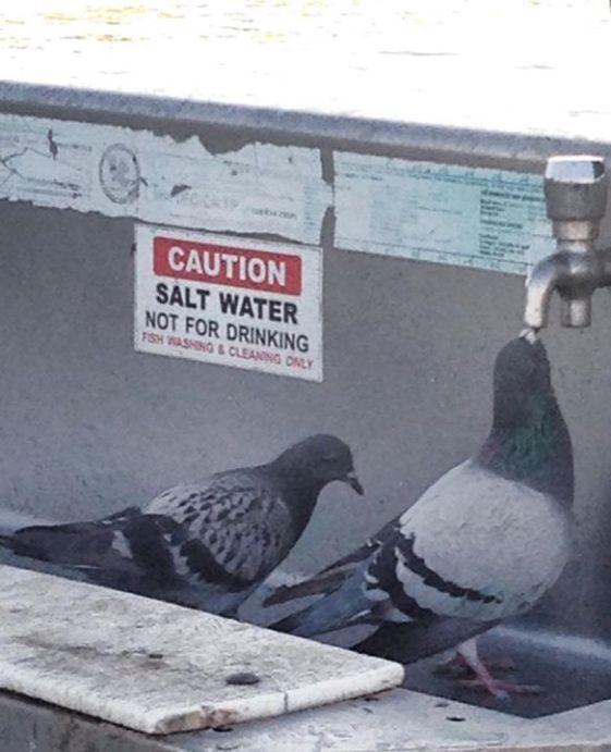 pigeons_drinking_saltwater