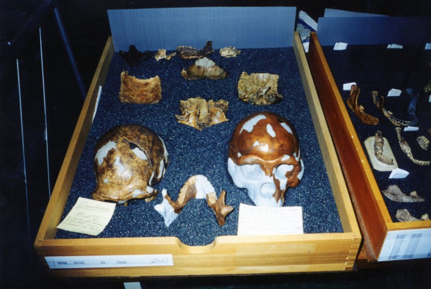 One of the drawers containing casts of the Peking Man material.