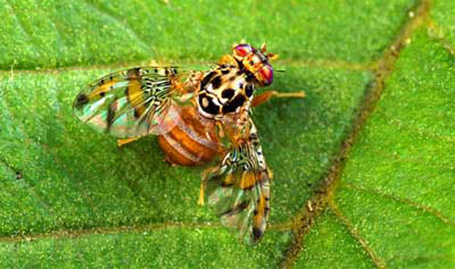 mediterranean_fruit_fly17