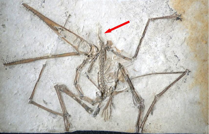 Pterodactylus_holotype_w-arrow